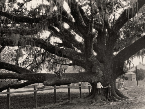 Edwin Wisherd, Children on an Oak Tree near St. Francisville, Louisiana, 1930.