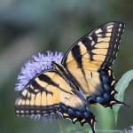 """Lee van Laer, """"Butterfly,"""" 2015"""