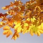 Autumn foliage of the Norway maple (Wikipedia)