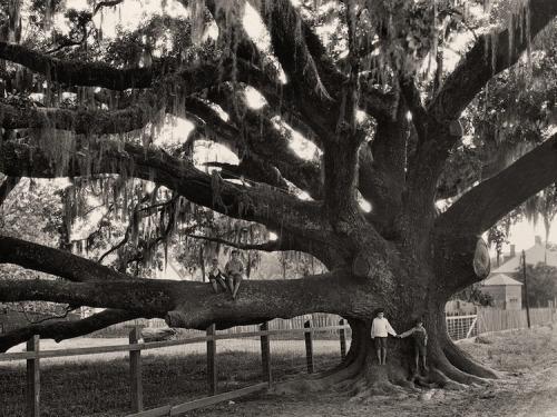 Edwin Wisherd, Children on an Oak Tree near St. Francisville, Louisiana, 1930.