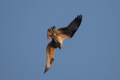 """Lee van Laer, """"Red tailed hawk,"""" Piermont, NY"""