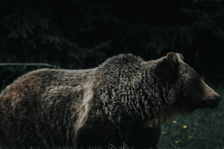 A Parabola Bestiary: Bear, by Ursula K. Le Guin