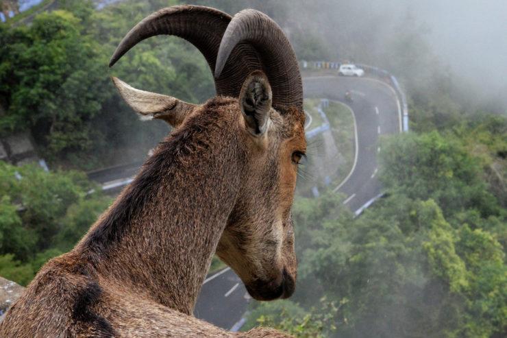 A Parabola Bestiary: Goat, by Joseph Cary