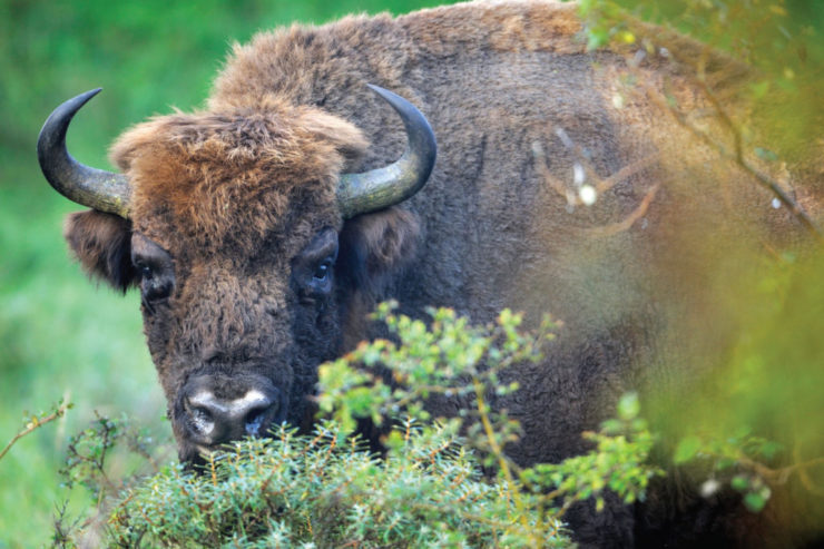 Rewilding: A Conversation with Staffan Widstrand, by Eleanor O'Hanlon